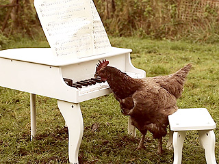 The Daily Treat: Watch Chickens Peck the Ivories – and Make Beautiful Music