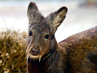 Count Bambi Is Back: Rare Fanged Deer Spotted for the First Time in Decades