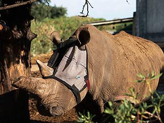 PHOTO: Hurt Rhino's Vision Saved with Custom Mask