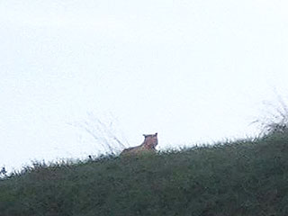 Big Cat on the Prowl Near Paris Is Not a Tiger
