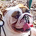 No One Is Happier Than This Bulldog in a Swing
