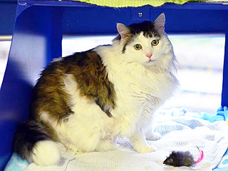Obese 26-Lb. Shelter Cat Goes on Christmas Diet
