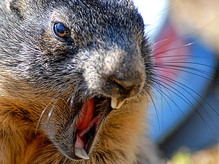 Aggressive Groundhog Charges at New Hampshire Man