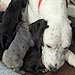 Pennsylvania Great Dane Gives Birth