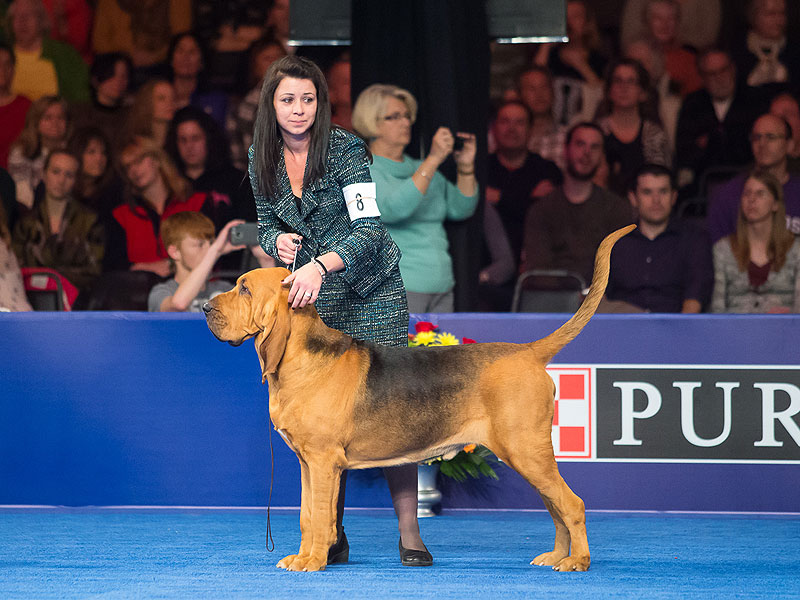 National Dog Show Champ Nathan The Bloodhound