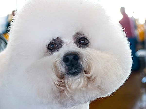 The Only 8 Photos You Need to See from the Westminster Dog Show| Dogs, Westminster Kennel Club Dog Show