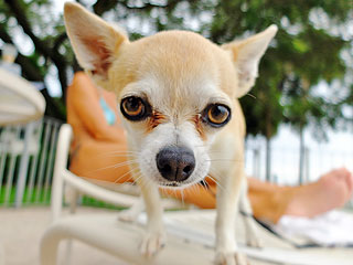 Chihuahuas Are Wreaking Havoc on an Arizona Neighborhood | Animals & Pets, Pet News