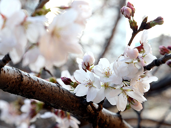 Cherry Tree From Space Grows Faster Than Expected