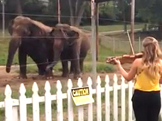 Two Elephants Dance to Violin Concerto