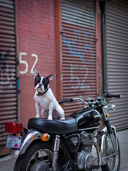 Pork Chop Dog Pork Chop in Dumbo Brooklyn