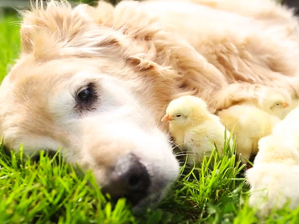 Meet the 11-Year-Old Golden Retriever Who Fosters Baby Chicks