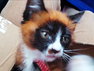 'Red Panda' Kitten: New Breed or Adorable Mutant? (VIDEO) | Animals & Pets, Unusual Pets