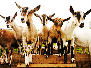 'The Running of the Goats' at This Farm is Exactly as Cute as You'd Think (VIDEO)