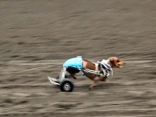 Meet Anderson Pooper: The Paralyzed Race Dog Ready to Warm Your Heart