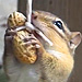 This Is Just a Video of a Chipmunk Eating a Peanut While Dangling from a String