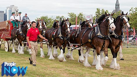 Relax: The Budweiser Clydesdales Aren't Going Anywhere
