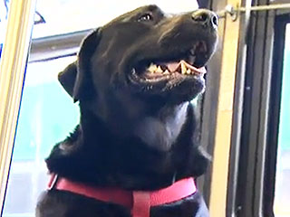 Dog Rides Bus Alone Every Week in Seattle