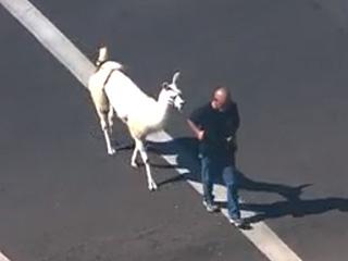 Llamas on the Lloose in Phoenix? Twitterverse Has a Meltdown