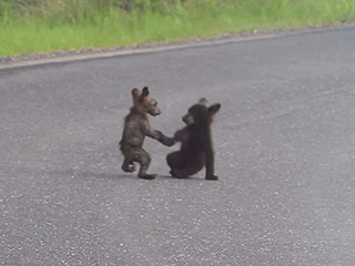Your Daily Cuteness Allotment: Two 'Puppy-Sized' Baby Bears Frolicking Without a Care (Video)