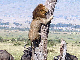Cowardly Lion Scared Up a Tree by Herd of Water Buffalo