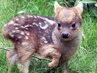 Meet the Adorable Six-Inch-Tall Deer Born at a New York Zoo