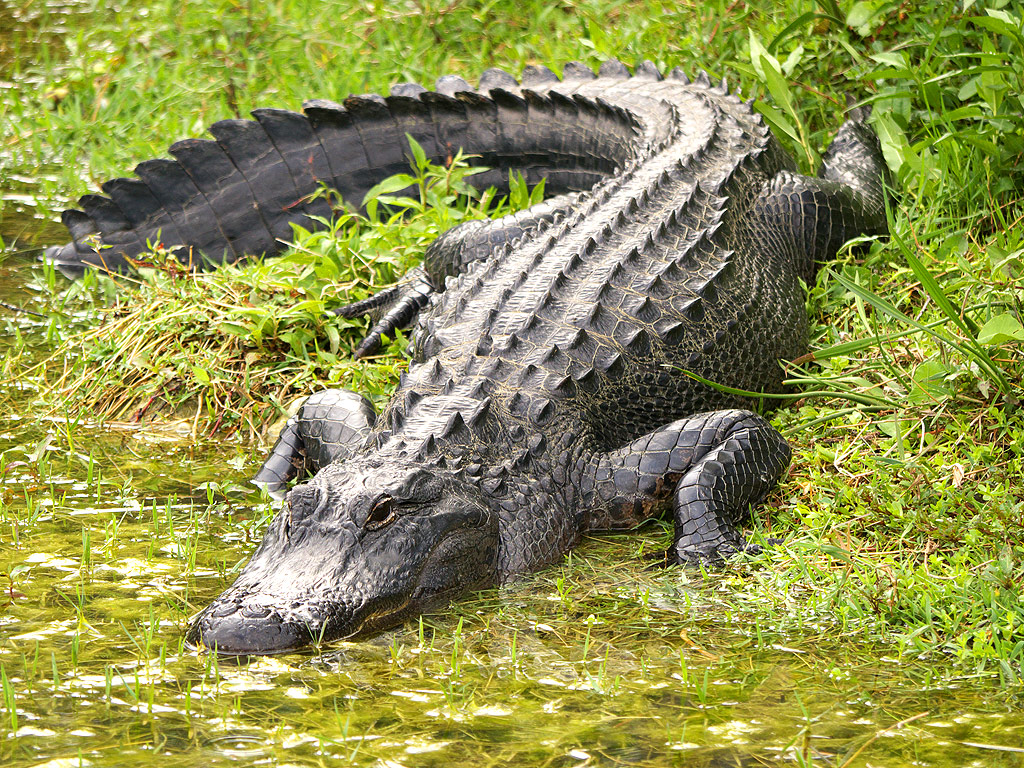 A description of the american alligator as an amazing reptile
