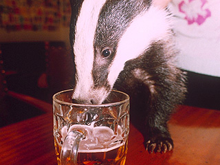 Drunk Polish Badger Found on Beach is Our New Spirit Animal