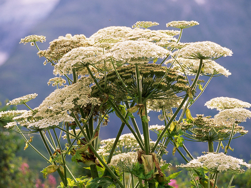 Hogweed Sighting Frightens Michigan: Plant Can Cause Burns, Blindness