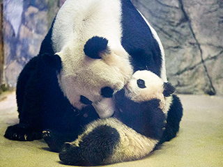 National Zoo's Two-Time Panda Mom May Be Pregnant Again