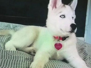 Devastated Owner Begs Robbers to Return His Missing Siberian Husky Puppy: 'I Want Her Back'