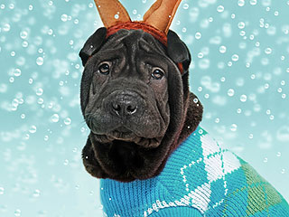How to Put a Holiday Sweater on Your Dog, a True Christmas Miracle