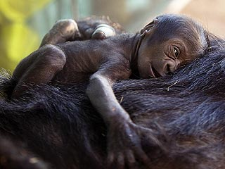 Baby Gorilla Born at the San Diego Zoo Refuses to Leave Mom's Side