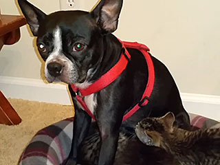 Boston Terrier Nurses Orphaned Kittens (VIDEO)