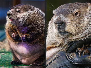 Groundhog Phil Vs. Groundhog Chuck: Whose Prediction Will Reign Supreme?