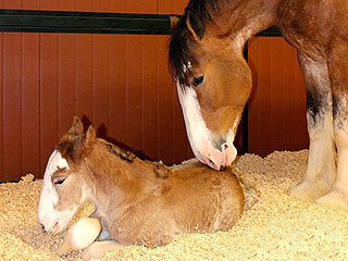 Daily Treat: Budweiser Welcomes New Clydesdale