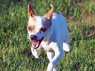 Abandoned Two-Legged Chihuahua Zooms into Forever Home