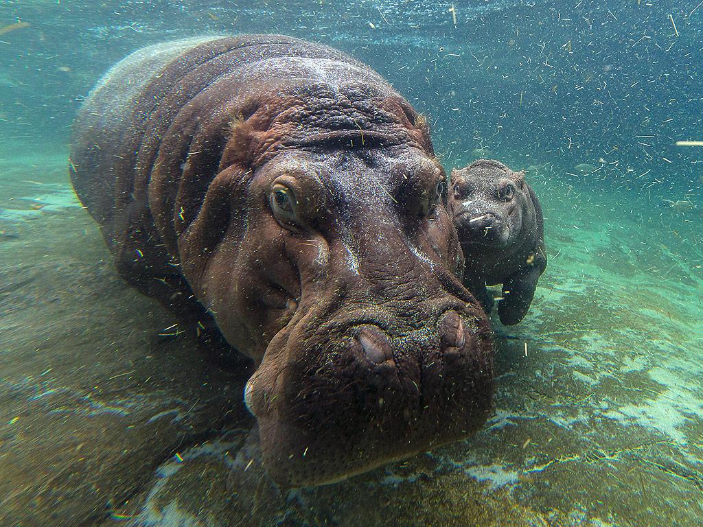 Hippo Sex 45