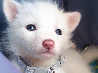 Meet Rylai, the Snow White Red Fox Captivating the Internet
