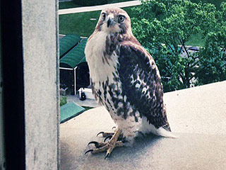 Look at this Presidential Red-Tailed Hawk Just Hanging Out at the White House