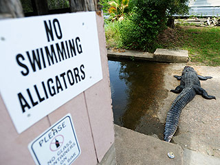 11-Foot Deceased Alligator Found with Human Remains Inside