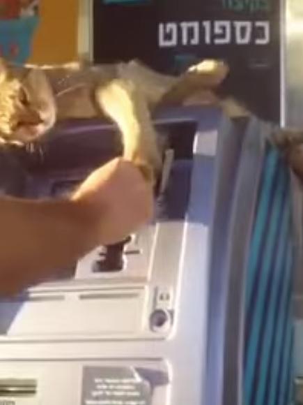 Cat Guard Cat Guards Atm Swipes at Man