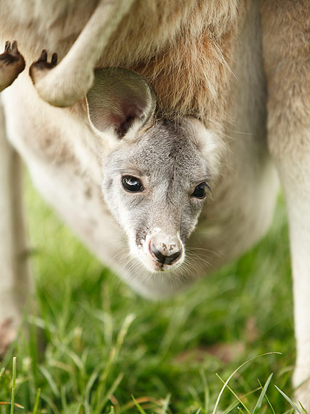 Orphaned Kangaroo Hugs Stuffed Animal People Com