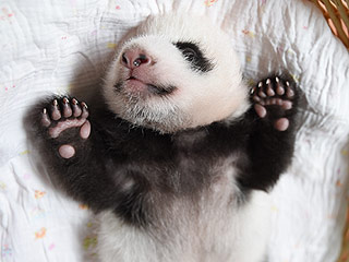 VIP: 'Very Important Panda' Cub Update from Washington, D.C., and China