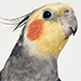 From INSTANT: WATCH: Meet the 'Most Fly' Cockatiel on Instagram