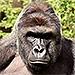 Gorilla Shot and Killed at Cincinnati Zoo After Boy, 4, Slips into Gorilla Enclosure