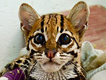 Margay Sporting Purple Casts Looks Morally Opposed to Facebook Photos