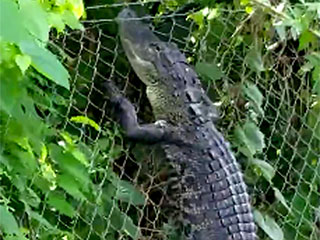 WATCH: Alligator Caught on Video Scaling Fence with Ease at Florida Golf Course