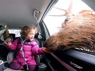 Little Girl Delightedly Feeds Enormous Elk from Car Window