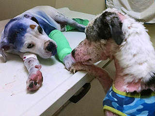 Abused Dogs Comfort One Another While Being Treated in Animal Clinic: The 'Understanding Between Animals Is Beyond Me'