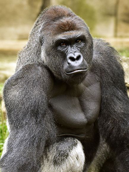 Cincinnati Police Investigating Family of Boy Who Fell Into Gorilla Enclosure